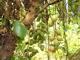 Baccaurea ramiflora, Burmese Grape.jpg