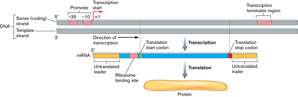 site of protein sythesis Learn about the steps of protein synthesis in this video i'll break down transcription, translation and the key players in the process of making protein.