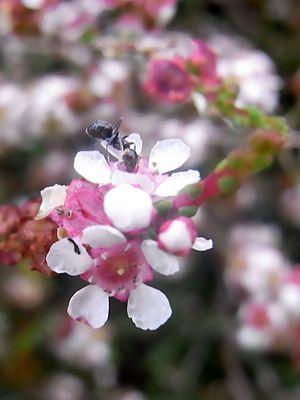 Baeckea - Image: Baeckea brevifolia Batemans Bay