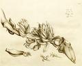 Bala 1-13 Rheede 1678.png