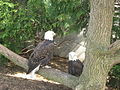 Bald eagles.jpg