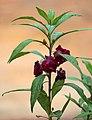 Balsam flowers 06.jpg