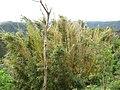 Bamboo in Ahuachapán (ledpup).jpg