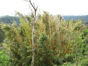 Ahuachapán - Bamboo in Ahuachapán