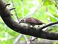 Banded bay cuckoo (ചെങ്കുയിൽ ) - 3.jpg