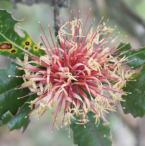 Western spinebill - Flowers of Banksia ilicifolia are a favourite nectar source.