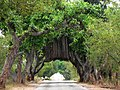 Banyan trees canopy over highway P1010713.jpg