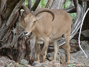 Barbary sheep - Image: Barbary Sheep 4