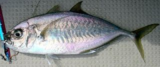 Barcheek trevally species of fish
