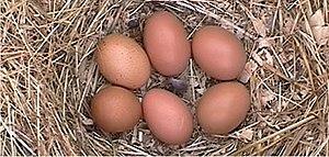 Barnevelder eggs