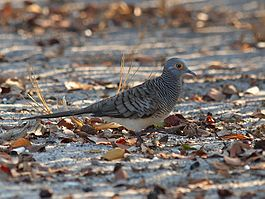 Barred Dove (8333065982).jpg