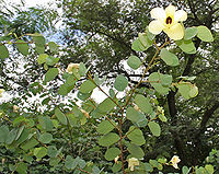 Bauhinia tomentosa (Camel foot tree) in Hyderabad, AP W IMG 9480
