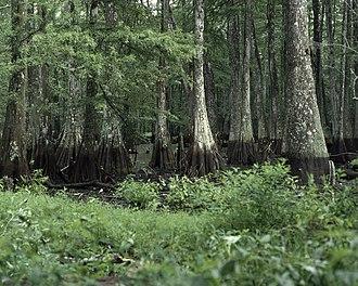 Bayou Cocodrie National Wildlife Refuge - Bald cypress stand at Bayou Cocodrie.