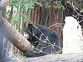 Bears at Bannerghatta National Park 4-24-2011 12-10-17 PM.JPG