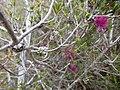 Beaufortia purpurea (fruits).JPG