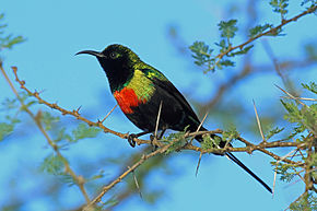 Description de l'image Beautiful Sunbird, Tarangire, Tanzania (8495915882).jpg.