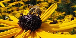 BeeOnFlower2.jpg