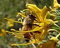 Bee in a bladder pod flower, San Bernardino NF (3721660514).jpg