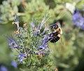 Bee on flower in BBG (84738).jpg