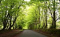 Beech Trees - geograph.org.uk - 701100.jpg