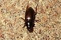 Beetle tbi (FG) (33712613466).jpg