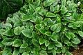 Begonia elaeagnifolia 2.JPG