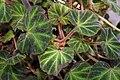 Begonia soli-mutata 2zz.jpg