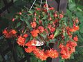 Begonia zwisająca Begonia tuberhybrida 1.jpg
