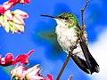 Beija Flor tesoura verde.jpg