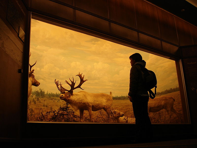 File:Bell Museum of Natural History diorama.jpg