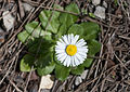 Bellis sp. 03.jpg