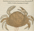 Belon aquatilia f422.png