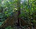 Benuang (Octomeles sumatrana) big buttress (15660479965).jpg