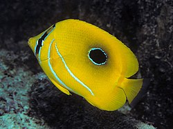 definition of butterflyfish