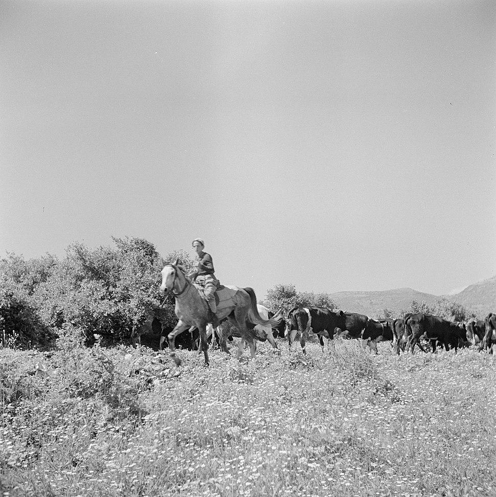 Bereden herder met een kudde koeien, Bestanddeelnr 255-0845