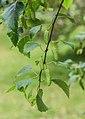 Betula raddeana in Hackfalls Arboretum (2).jpg