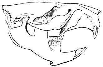 Castoridae - Skull of a beaver