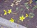 Bidens ferulifolia1.jpg