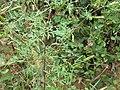 Bidens parviflora 95831264.jpg