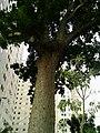 """Big Tree n apartment """" - panoramio.jpg"""