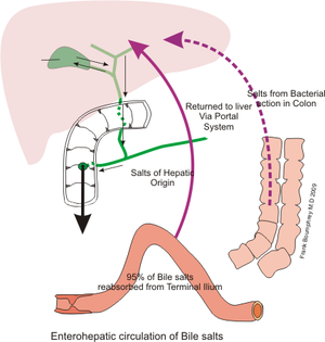 Bile - Recycling of the bile