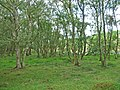 Birch wood at the lower edge of Langdale Forest - geograph.org.uk - 220094.jpg