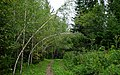 Birches Creating a Covered Walkway (7863640554).jpg