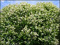 Bird-cherry abloom - panoramio.jpg