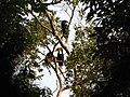 Bird Wreathed Hornbill Rhyticeros undulatus IMG 9195 (17).jpg