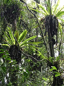 Birds nest ferns in tropical montane forest on Mt Manucoco, Atauro, 30 Dec 2003.jpg