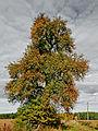 Wildbirne (Pyrus pyraster)