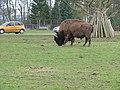 Bison at Blairdrumond - panoramio.jpg