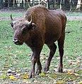 Bison bonasus (6337099159).jpg