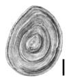 Bithynia transsilvanica operculum.png